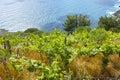 Vineyard green in la spezia liguria italy Stock Photo