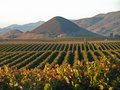 Vineyard after harvest Royalty Free Stock Photo