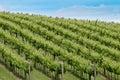 Vineyard on hillside Royalty Free Stock Photo