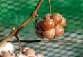 Vineyard and Icewine Grapes Stock Photography
