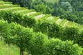 Vineyard italian agricultural landscape with grapevines Stock Photos