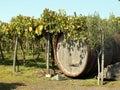Vineyard in Italy Stock Image