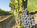 Vineyard in la Rioja before the harvest, Spain Royalty Free Stock Photo