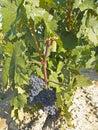 Vineyard in la Rioja before the harvest, Spain Royalty Free Stock Photo