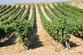 Vineyard, La Rioja (Spain) Royalty Free Stock Photo