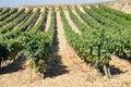 Vineyard, La Rioja (Spain) Royalty Free Stock Photo