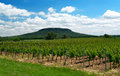 Vineyard at lake balaton hungary in spring time Stock Images