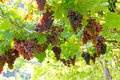Vineyard in Lana, Italy Royalty Free Stock Photo