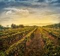 Vineyard landscape Royalty Free Stock Photo