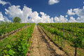 Vineyard landscape hungarian in the summer season Royalty Free Stock Photos