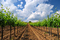 Vineyard landscape hungarian in the summer season Stock Image