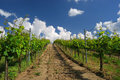 Vineyard landscape hungarian in the summer season Royalty Free Stock Photo