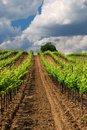 Vineyard landscape hungarian in the summer season Stock Photos