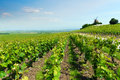 Vineyard landscape, Montagne de Reims, France Royalty Free Stock Photo