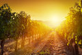 Vineyard landscape in Tuscany, Italy. Wine farm at sunset Royalty Free Stock Photo