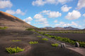 Vineyard in Lanzarote Royalty Free Stock Image