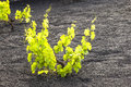 A vineyard in Lanzarote, growing on volcanic soil Stock Image