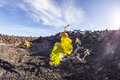 Vineyard in lanzarote island a growing on volcanic soil Royalty Free Stock Photo