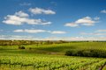 Vineyard in mclaren vale south australia summer Royalty Free Stock Images