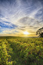 Vineyard in mclaren vale south australia view of the late afternoon Stock Photography