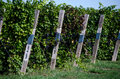 Vineyard in michigan a southwest has each row labeled with the type of grapes they are growing Royalty Free Stock Image