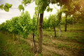 Vineyard in the morning, grapevines in row Royalty Free Stock Photo