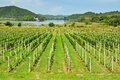 Vineyard with mountain and lake background Stock Photos