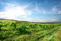 Vineyard in mountains green at the sunset Royalty Free Stock Photography