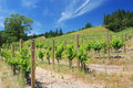 Vineyard in Napa, California Royalty Free Stock Image