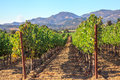 Vineyard in Napa Valley Royalty Free Stock Photo