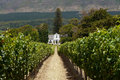 Vineyard near cape town rows of grape vines in south africa Royalty Free Stock Photos