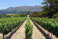Vineyard near cape town rows of grape vines in south africa Stock Photos