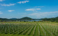Vineyard near lake and mountain with clear blue sky Stock Image