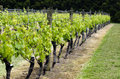Vineyard in New Zealand Royalty Free Stock Photos