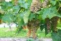 Vineyard in Niagara-on-the-lake, Ontario, Canada Royalty Free Stock Images