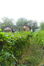 Vineyard in novoselac village outside zagreb the croatian capital the central croatian region town vintage Stock Photo