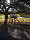 Vineyard and oak tree in Napa Valley Royalty Free Stock Photo