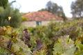 Vineyard With Old Farm House R...