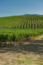 Vineyard in Orcia Valley, Tuscany Stock Photos