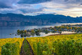 Vineyard Overlooking Okanagan Lake Kelowna BC Canada Royalty Free Stock Photo