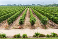 Vineyard in Colchagua Valley Chile Royalty Free Stock Photo