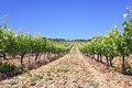 Vineyard in portugal alentejo region Stock Images