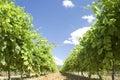 Vineyard Provence France Stock Photography