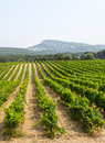 Vineyard in provence near marseille bouches du rhone alpes cote d azur france at summer Royalty Free Stock Photography
