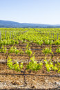 Vineyard in provence view of an france Stock Image