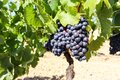 Vineyard With Red Wine Grapes Near A Winery In Late Summer, Grapevines Before Harvest And Wine Production In Europe
