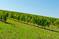 Vineyard ripe grapes in the autumn in bordeaux france Stock Photography