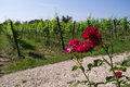 Vineyard with roses Stock Image