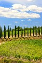 Vineyard with row of cypress trees in Val d`Orcia, Tuscany, Ital Royalty Free Stock Photo