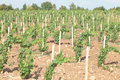 Vineyard rows Royalty Free Stock Photos